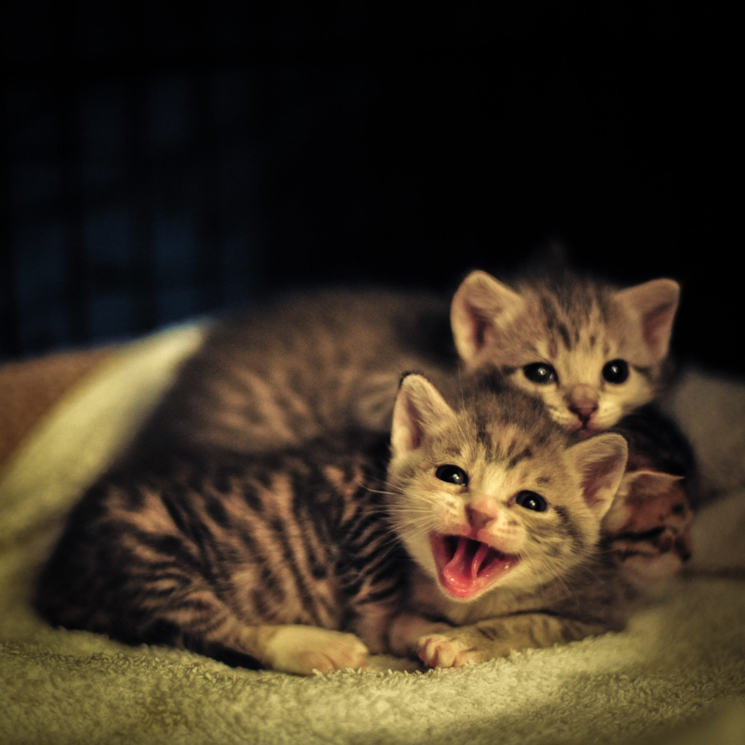 Chatons à adopter